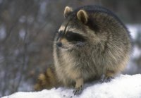 coon_snow2