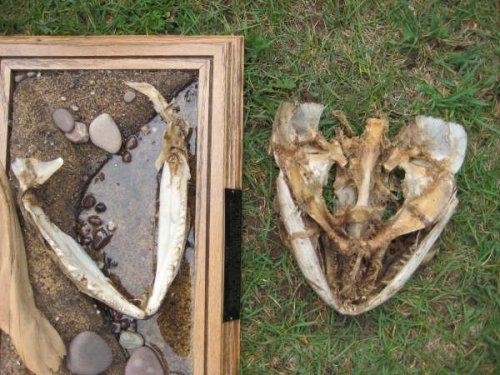 larger set of jaws was found by duck hunter Chris Weber
